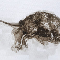Dead Mouse sketch Rowan Briggs Smith